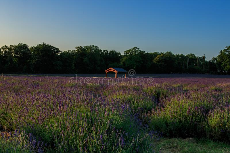 A field of lavender at sunrise stock photography