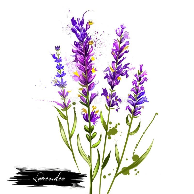 Lavandula- oder Lavendelaquarell stock abbildung