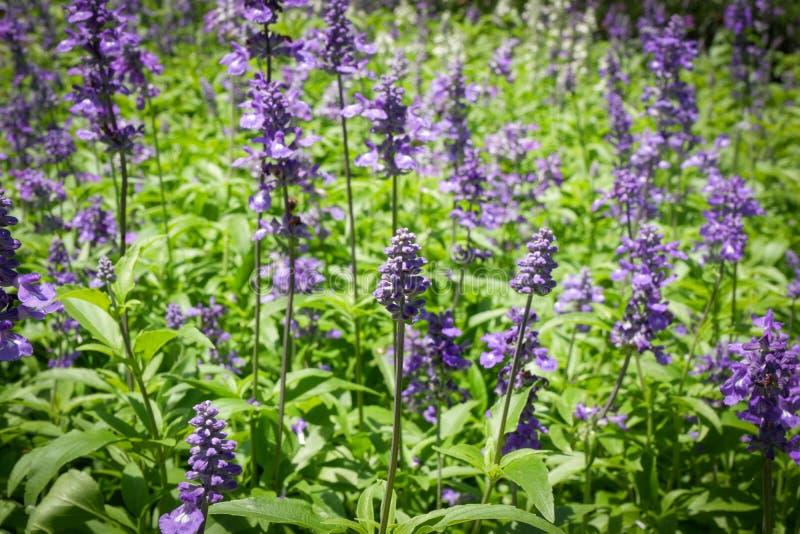 Lavandula pola kwiat fotografia stock