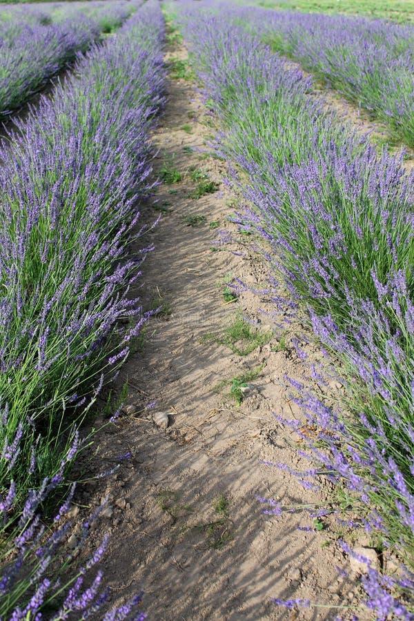 Download Lavandula rows stock photo. Image of crop, farmland, european - 37112436