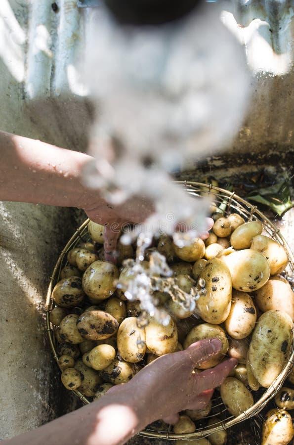 Lavare le patate appena raccolte immagine stock libera da diritti