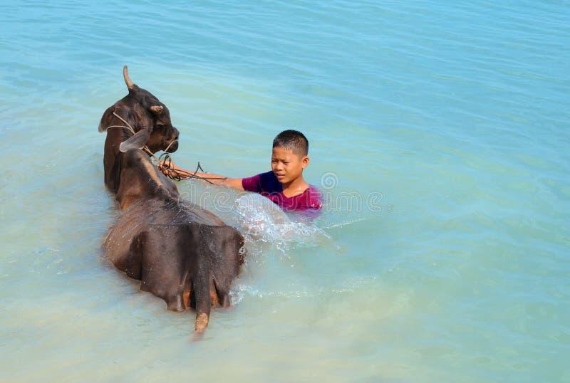 Lavata della mucca in Cambogia fotografia stock