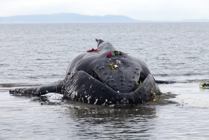 Lavate giovanili della balena di Humpback a secco e morto fotografia stock