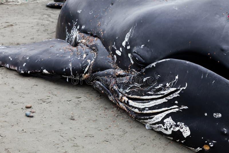 Lavate giovanili della balena di Humpback a secco e morto fotografia stock libera da diritti