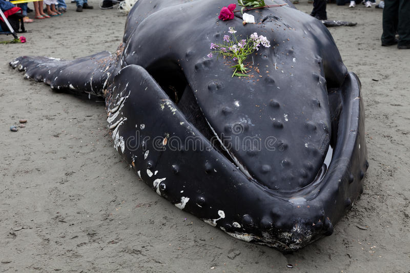 Lavate giovanili della balena di Humpback a secco e morto immagini stock
