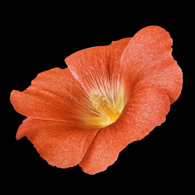 Lavatera ambarino anaranjado de la flor aislado en fondo negro Cierre del brote de flor para arriba fotografía de archivo