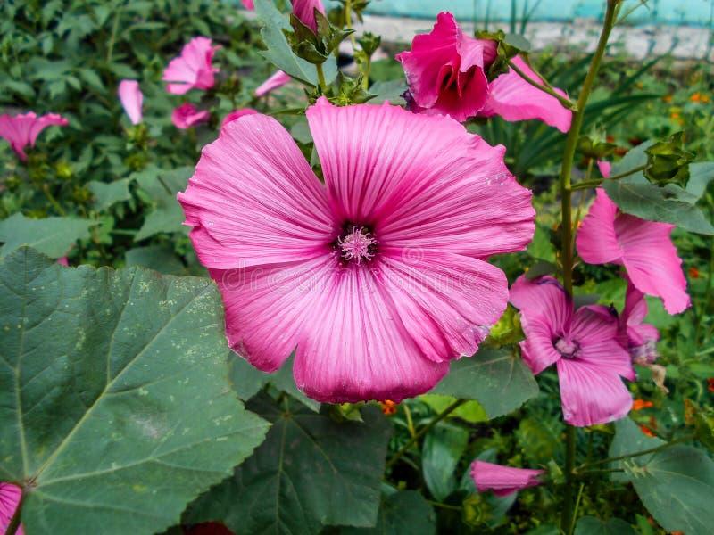 Lavatera Flores en el jardín Trimestris del Lavatera Flores delicadas Flores rosadas foto de archivo