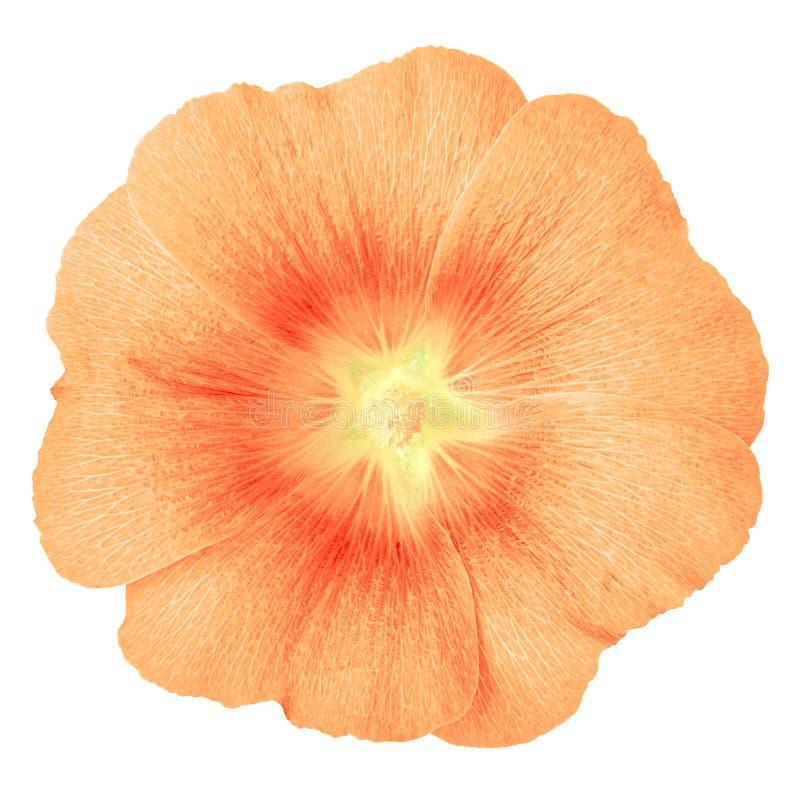 Lavatera rouge de corail de fleur d'isolement sur le fond blanc Fin de bourgeon floral vers le haut image libre de droits