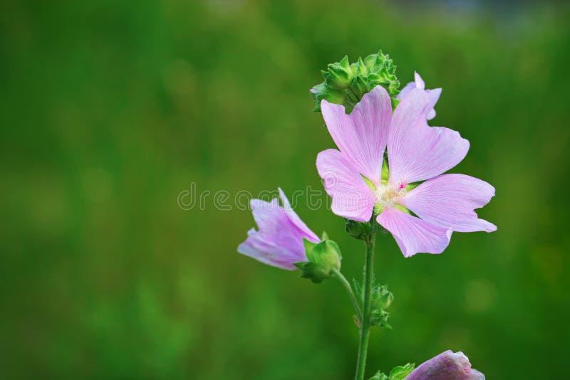 Lavatera thuringiaca kwiat zdjęcie stock