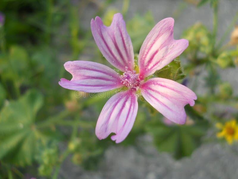 Lavatera Thuringica da flor ou Malva roxo imagem de stock