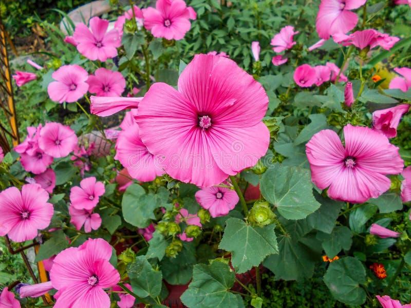 Lavatera Trimestris Lavatera чувствительные цветки Розовые цветки Lavatera Буша листья зеленого цвета стоковая фотография