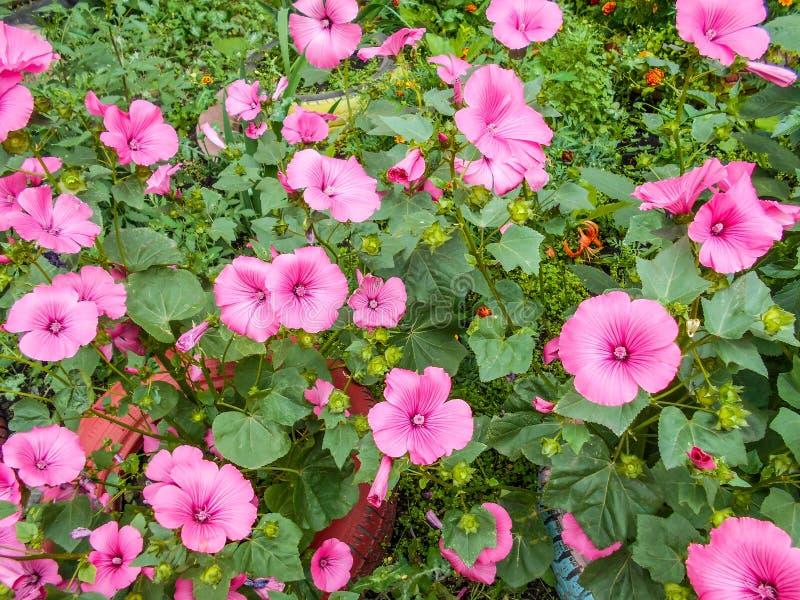 Lavatera Lavatera trimestris Empfindliche Blumen Rosa Blumen Bush-Lavatera Grün Blätter stockfotos