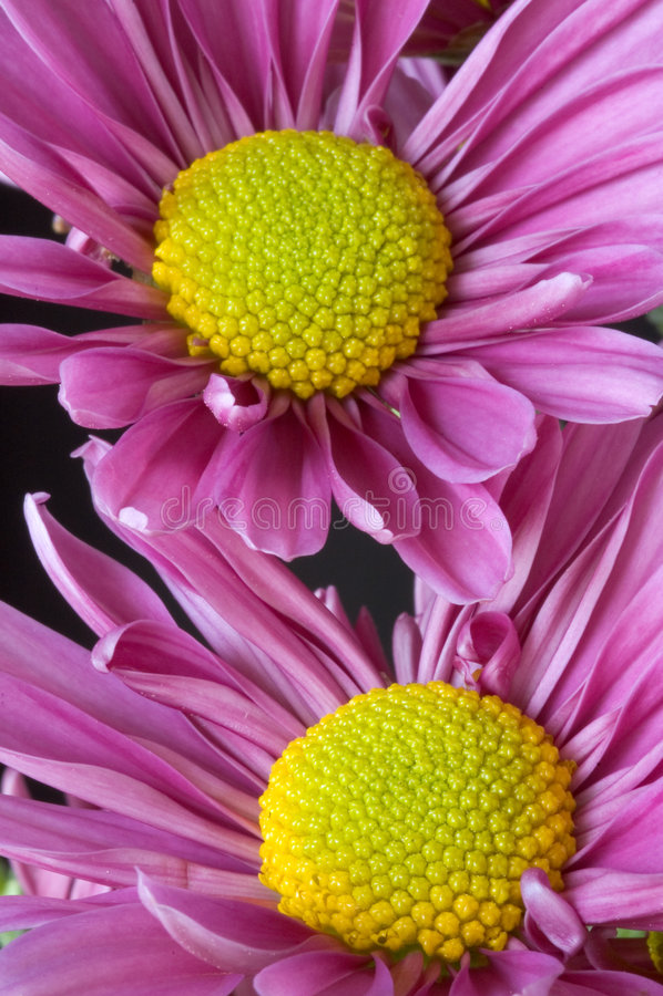 Lavendar Daisies Closeup stock image