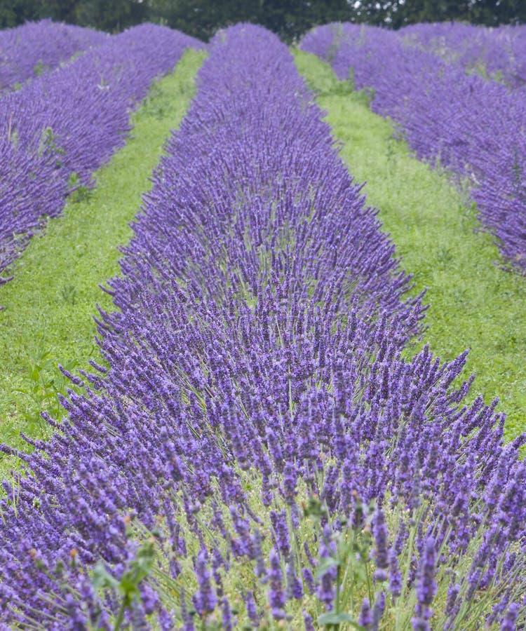 lavendar fält arkivfoto