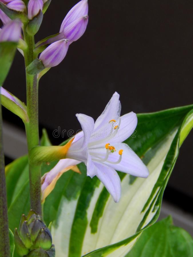 Lavendar Hosta Blossoms images stock