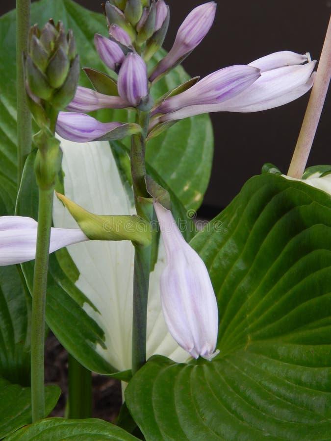 Lavendar Hosta Blossoms royalty free stock photo
