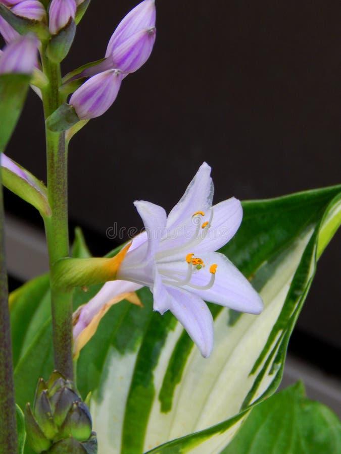 Lavendar Hosta Blossoms stock images