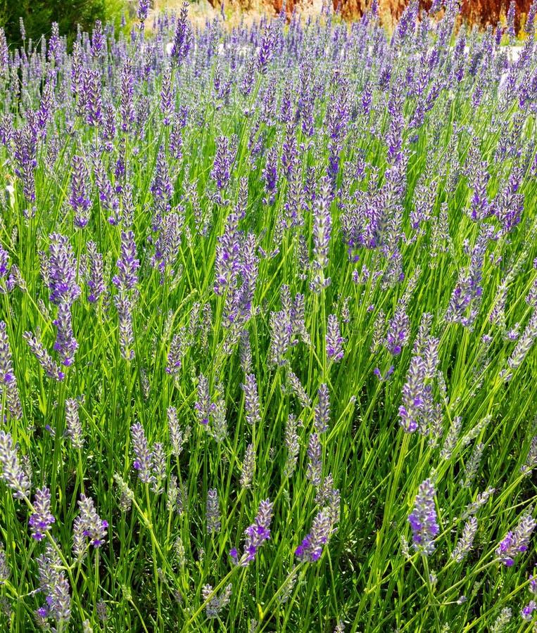 Lavende одичалое с цветками сирени стоковая фотография rf