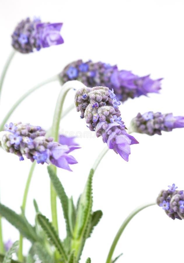 Lavendel lizenzfreies stockbild