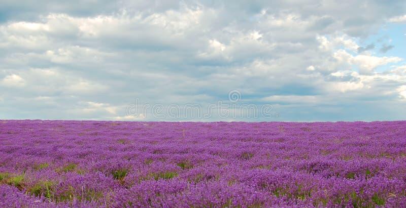 Lavendel stock foto