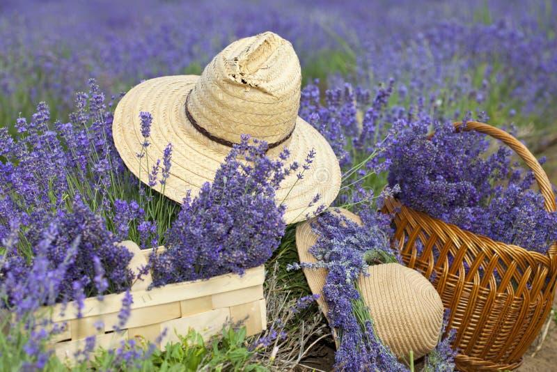 Lavendel fotografering för bildbyråer