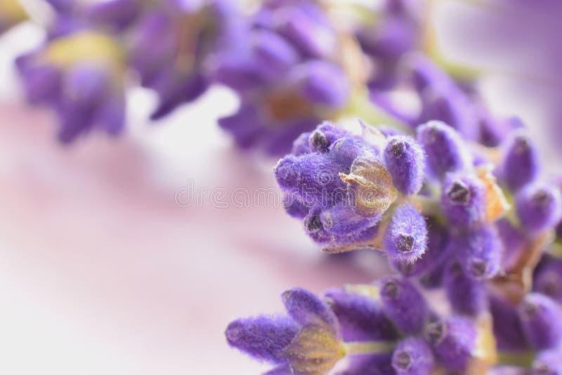 Lavendel images stock