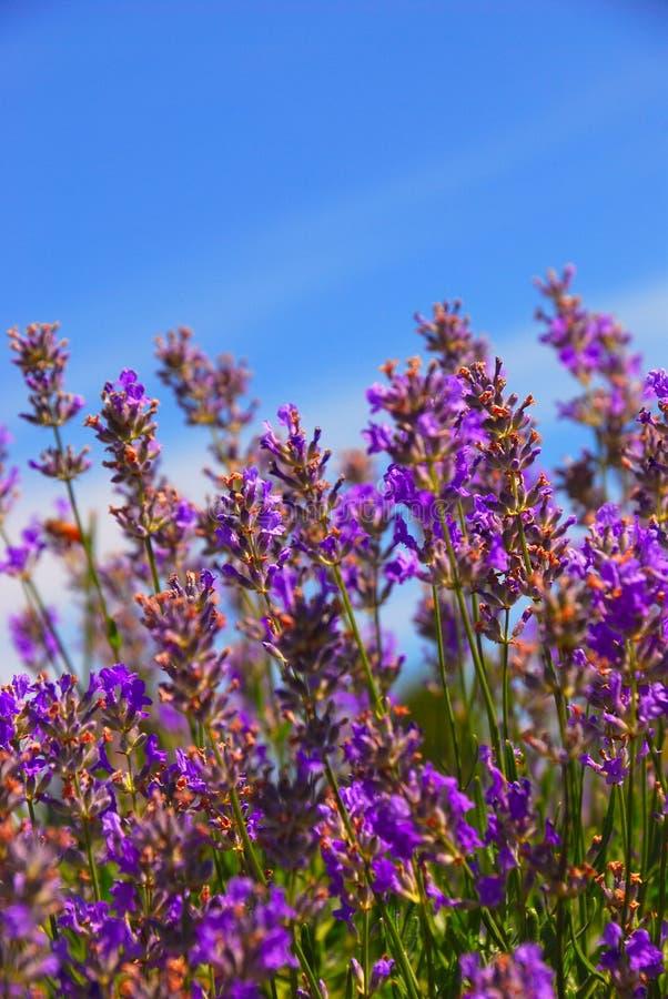 Lavendel-Anlage lizenzfreie stockfotos