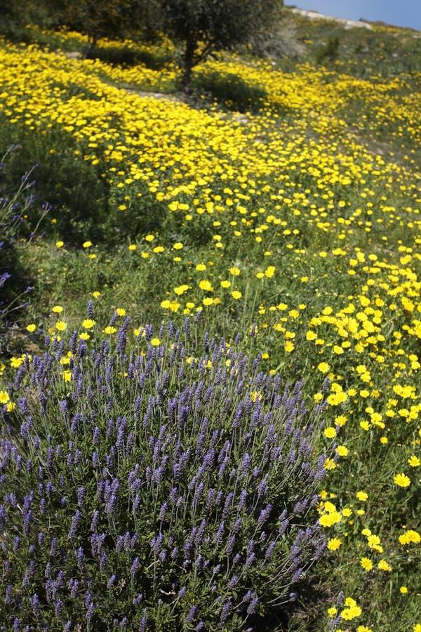 Lavendel-Anlage auf dem Gebiet von wilden gelben Gänseblümchen stockfoto