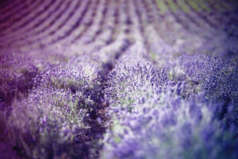 Lavendel auf dem Gebiet lizenzfreie stockbilder