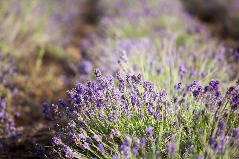 Lavendel auf dem Gebiet stockfotografie
