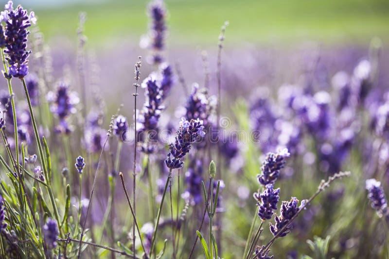 Lavendel auf dem Gebiet lizenzfreie stockfotografie