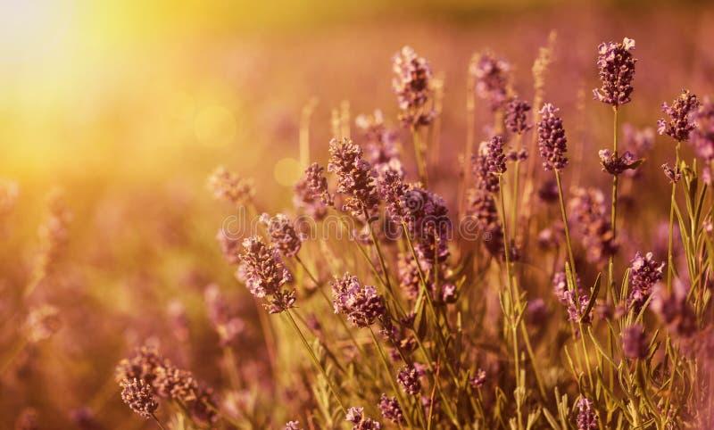 Lavendel auf dem Gebiet stockfoto
