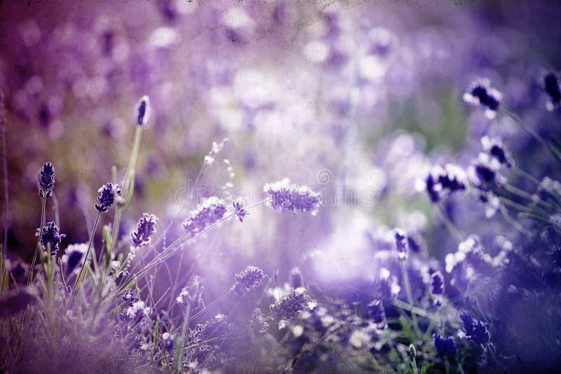 Lavendel auf dem Gebiet lizenzfreie stockfotos