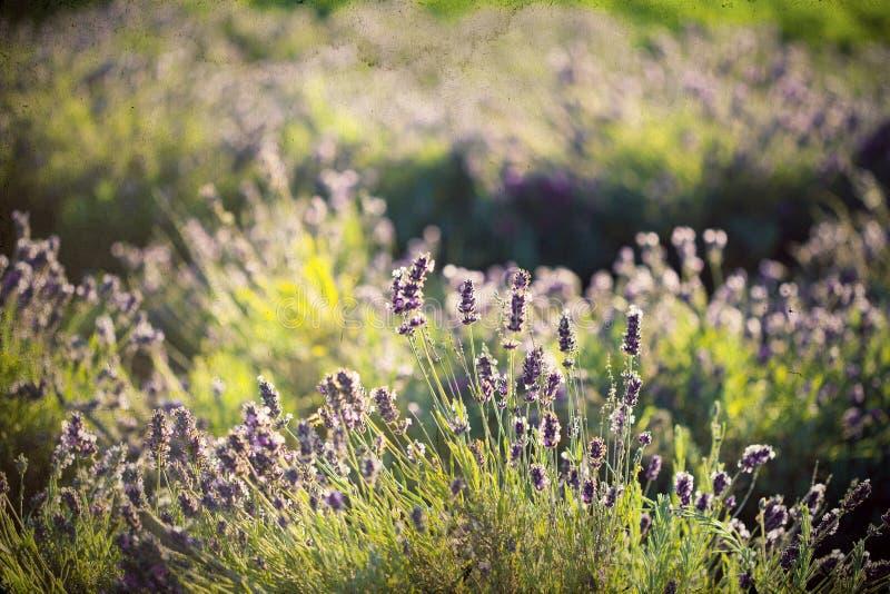Lavendel auf dem Gebiet stockbilder