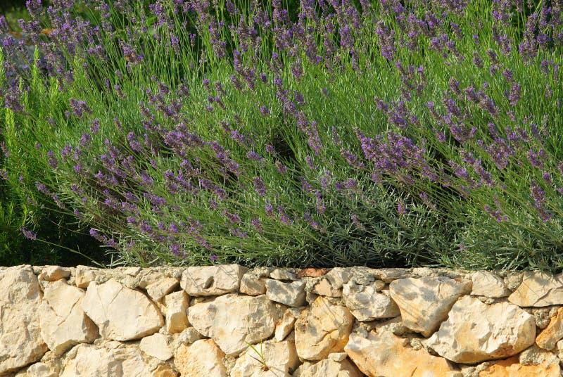 Lavendel auf Wand stockfotos