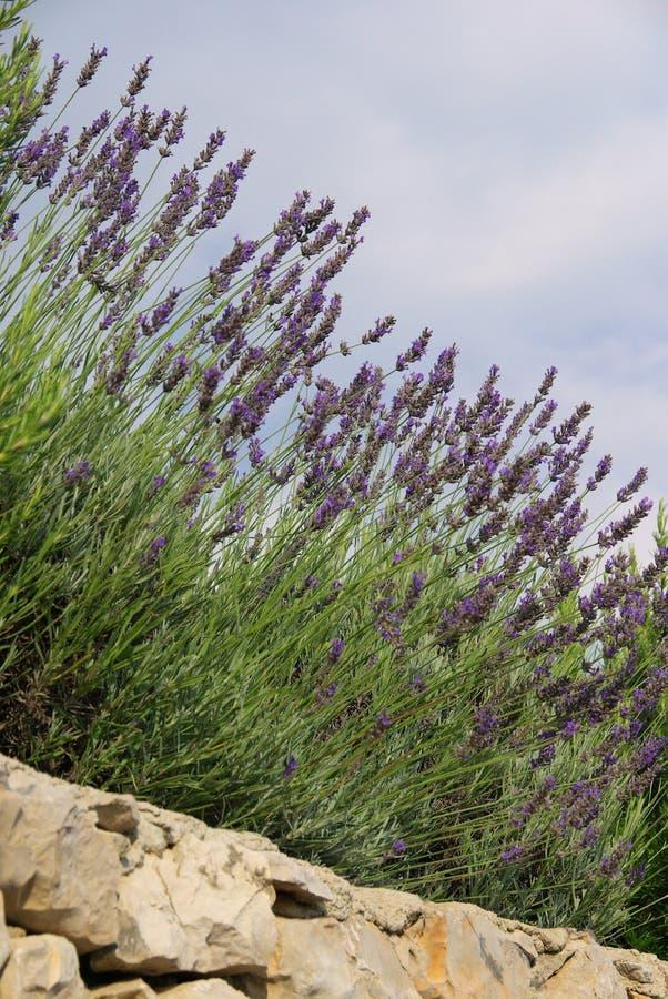 Lavendel auf Wand lizenzfreies stockfoto