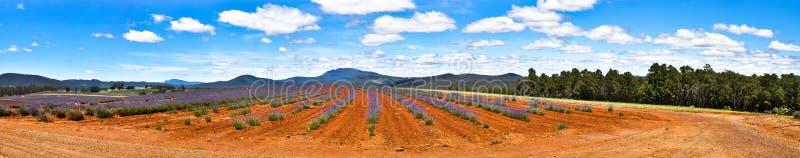 Lavendel-Bauernhof mit blauen Himmeln lizenzfreie stockbilder