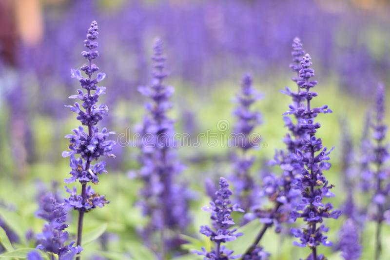 Lavendel bei Chaing Mai Thailand lizenzfreie stockfotos