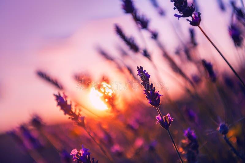 Lavendel bei Sonnenuntergang in Provence, Frankreich lizenzfreie stockfotografie