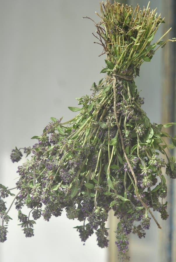 Lavendel-bemerkte droge Thyme (Zwezerik pulegioides) royalty-vrije stock afbeelding