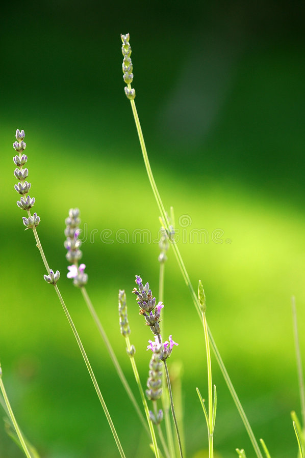 Lavendel-Blüten stockfotos