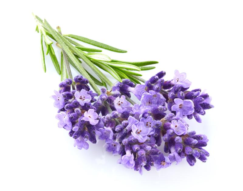 Lavendel blommar i closeup royaltyfri foto