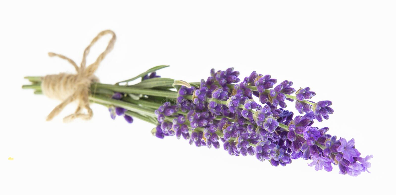 Lavendel blommar i closeup Grupp av lavendelblommor som isoleras ?ver vit bakgrund fotografering för bildbyråer