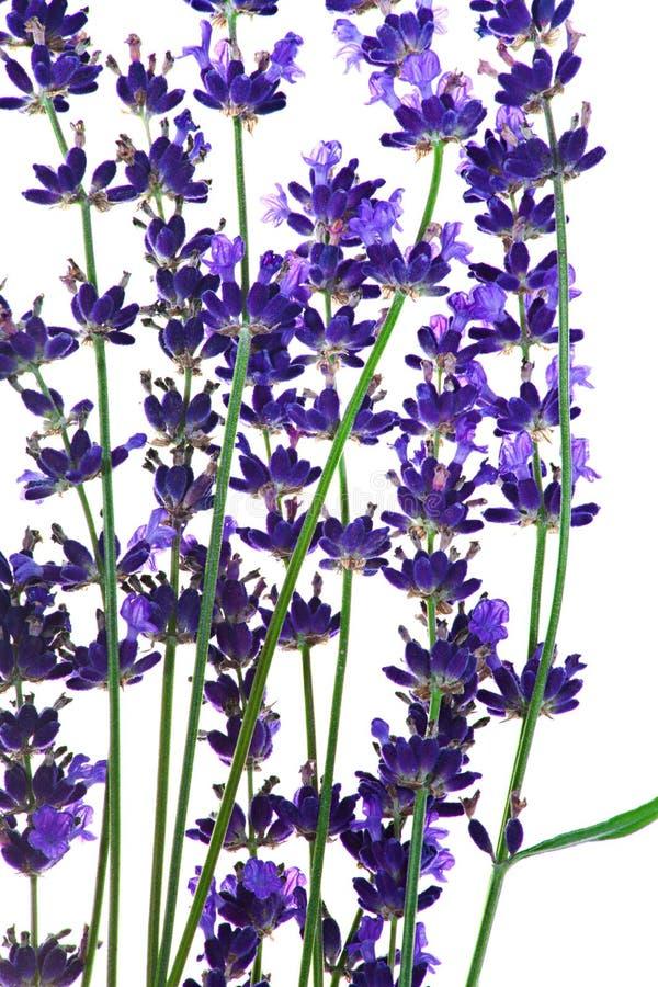 Lavendel blommar i closeupen som isoleras på vit stock illustrationer