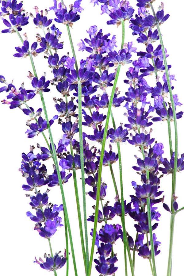 Lavendel blommar i closeupen som isoleras på vit royaltyfri illustrationer