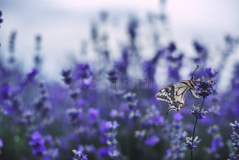 Lavendel blommar i fält med buterfly arkivbilder