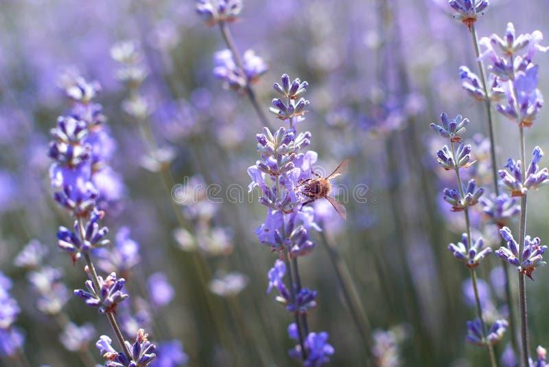 Lavendel blommar i fält Pollination med biet och lavendel med solsken, solig lavendel arkivbild
