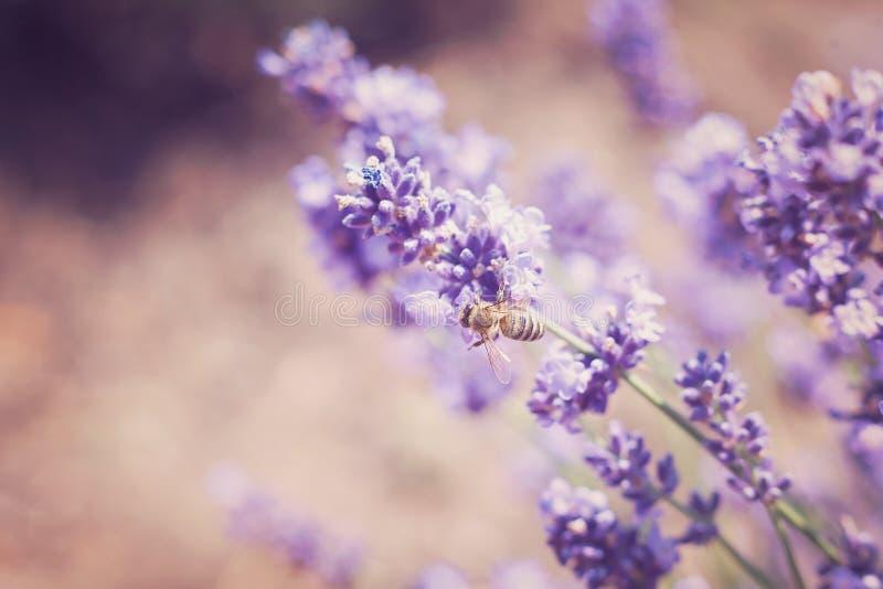 Lavendel blommar i fält Pollination med biet och lavendel med solsken, solig lavendel fotografering för bildbyråer