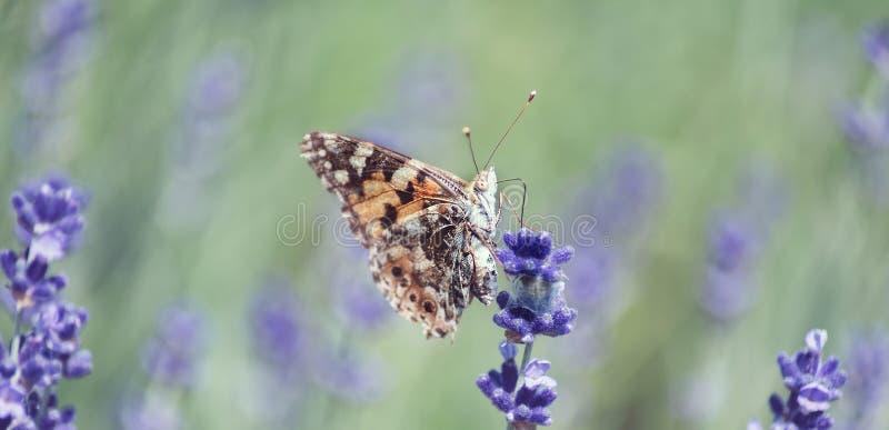 Lavendel blommar i f?lt Pollination med fjärilen och lavendel med solsken, solig lavendel Mjuk fokus, suddig bakgrund arkivbilder
