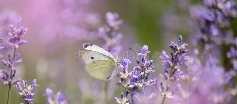 Lavendel blommar i f?lt Pollination med fjärilen och lavendel med solsken, solig lavendel Mjuk fokus, suddig bakgrund royaltyfri bild